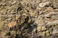 Goat on the cliff stock photo