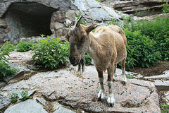 Goat at cliff Stock Images
