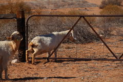 Goat climbing through a gate Stock Photos