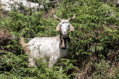 Goat climbing a hill Royalty Free Stock Photography