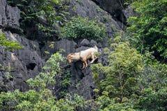 Goat climbing on limestone mountain Royalty Free Stock Photos