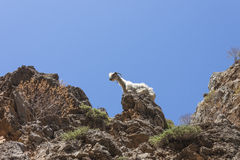 A goat climbing on a rock Royalty Free Stock Image