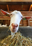 Goat close portrait Stock Images