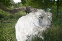 Goat, close-up. Royalty Free Stock Photography