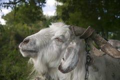 Goat, close-up. Royalty Free Stock Photos