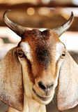 Goat. Close up of goat face royalty free stock photo