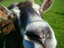 Goat. Close up of goats nose Royalty Free Stock Image