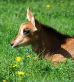 Goat close-up on green grass. Goat head close-up on green grass in a sunny day Stock Photography