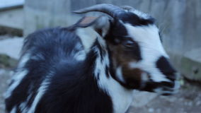 Goat Close Up stock video footage