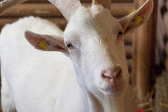 Goat close-up. Close-up of the head of a white goat staring at the camera Royalty Free Stock Photo