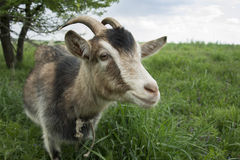 Goat. Royalty Free Stock Photography