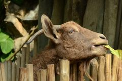 Goat close up. A Goat in Singapore zoo Royalty Free Stock Photo