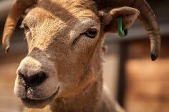 Goat close up Stock Photo