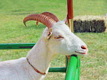 Goat Close Up Royalty Free Stock Photos
