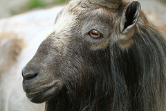 Goat close up. At the zoo Stock Photo