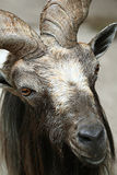 Goat close up. At the zoo Royalty Free Stock Photo