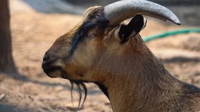 Goat close up in the zoo stock photo