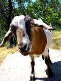 Goat Closeup. Silly Goat Closeup Walking Towards Camera Stock Photography
