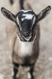 Goat closeup. Of the face Royalty Free Stock Photos