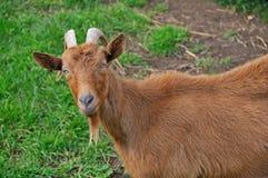 Goat closeup Royalty Free Stock Photos