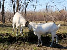 Goat common Royalty Free Stock Photography