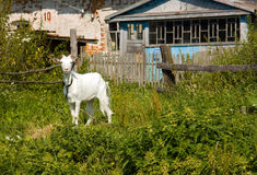 Goat common. Cloven hoofed ruminants Royalty Free Stock Photos