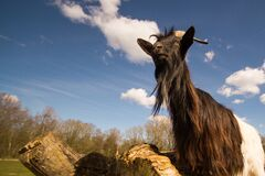 Goat in countryside field Stock Photography
