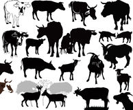 Goat Cow animals calf isolated Stock Images