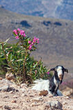 Goat in Crete Royalty Free Stock Image