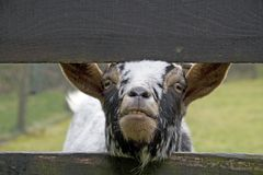 Goat crosses its head through the fence. And begs for food Stock Images