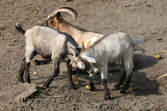 Goat cubs playing in the yard rural scene Royalty Free Stock Photo