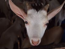 Goat with curiously stared. Small goat was curious staring while being photographed Stock Photos