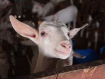 Goat with curiously stared. Small goat was curious staring while being photographed Royalty Free Stock Photos