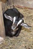 She goat Stock Image