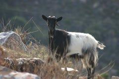 Goat detail. Goat on hill.  Full body. Black and white fur.  Fodele. Crete. Greece Stock Photo