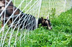 Goat discovers grass is greener on the other side Royalty Free Stock Photo