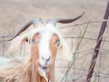 Goat disheveled in campaign Stock Photography