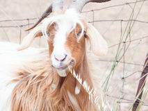 Goat disheveled in campaign Royalty Free Stock Photo