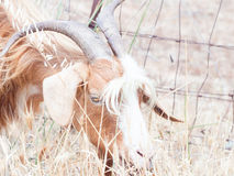 Goat disheveled in campaign Royalty Free Stock Images