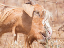 Goat disheveled in campaign Stock Images