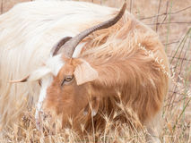 Goat disheveled in campaign Royalty Free Stock Photography