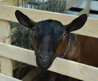 Goat looking through a gate at the county fair. Goat on display for showing at the Walworth County Fair in Elkhorn, WI royalty free stock images