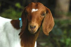 Goat doeling Royalty Free Stock Images