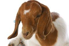 Goat doeling Royalty Free Stock Image