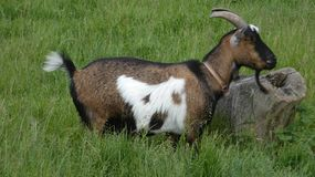 Goat with a dog on it`s side 4 stock photos