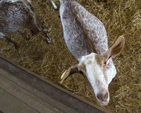 Goat in a domestic farm, looking at cam Stock Image