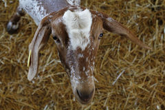 Goat in a domestic farm, looking at cam Stock Photography