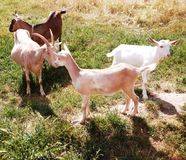 Goat. Domestic goats on a sunny day in the meadow Stock Images