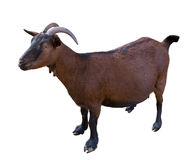 Goat. domesticated, brown color. top view Royalty Free Stock Photo