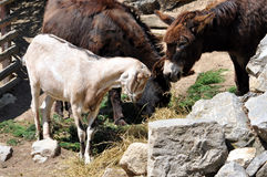 Goat and donkey on the farm Royalty Free Stock Photography